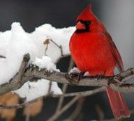 what a regal red