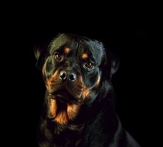 Rottweiler Rottweiler Pictures, Rottweiler Love, Joe Hardy, Guard Dog Breeds, Her Interactive, Nancy Drew Games, Look At The Book, Rottweilers, Dog Portraits