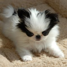 baby Japanese Chin! Panda bear face! :-)