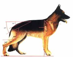 German Shepherd Dog anatomy