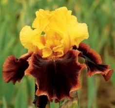 Ancient Echoes Bearded Iris