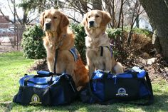Golden Retrievers Help Comfort Victims in Boston