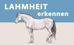 """Jeder Reiter sollte in der Lage sein eine Lahmheit bei seinem Pferd zu erkennen. Wie das geht erfährst Du im heutigen Artikel """"Lahmheit erkennen""""!"""