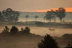 Red Deer in the early morningfog on a heathland in Holland Life Is Beautiful, Beautiful Places, Visit Holland, Amsterdam Holland, All Nature, Nature Pictures, Mother Nature, Mists, Places To See