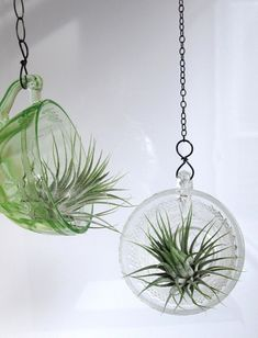 Air Plant in punch cups - All For Herbs And Plants Air Plant Terrarium, Garden Terrarium, Succulents Garden, Garden Plants, House Plants, Air Plant Display, Plant Decor, Hanging Air Plants, Indoor Plants