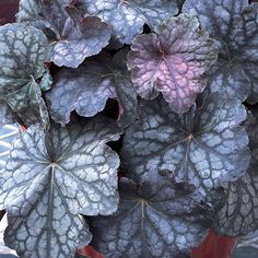 "Coral Bells ""Velvet Night""  Perennial Part Shade to Shade 8-12"" Fall Drought Tolerant, better to keep moist Attracts: Birds, Hummingbirds Resists: Deer Container Role:  Filler"
