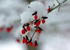 "Check out my art piece ""Snow Cap On Red Fruit"" on crated.com #fruit #snow #winter #art #photography"