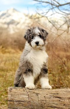 Breeder of Aussiedoodles, Bernedoodles, & Australian Mountain Doodles located in SLC, Utah Cute Puppies, Cute Dogs, Dogs And Puppies, Doggies, Cute Baby Animals, Animals And Pets, Shiba Inu, Doodle Dog Breeds, Bernedoodle Puppy