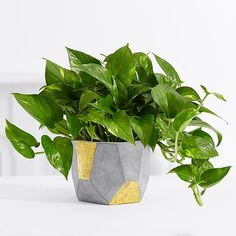 This Golden Pothos tabletop plant is the perfect gift to help them breathe happier by purifying their air while adding style to their space. Arriving in our exclusive grey and gold geometric clay container, this gift thrives in moderate indoor light and is the perfect addition to any desk or tabletop. All of the plants in our Breathe Happier™ Collection are hardy, easy to care for, and selected from plants listed in the NASA Clean Air Study.*