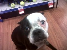 Meet Wally! Boston Terrier, Meet, Dogs, Animals, Animales, Animaux, Pet Dogs, Doggies, Boston Terriers