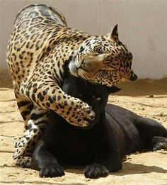 -brown leopard- friends! -black leopard- get....off....