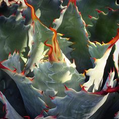 Agave potatorum. Adam Kopras