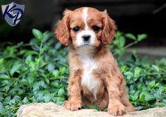 Junior – Cavalier King Charles Spaniel Puppy  #cavalierpuppy  #keystonepuppies