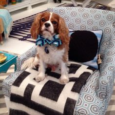 Cute Dog, Chic Space: Jonathan Adler's King Charles Cavalier