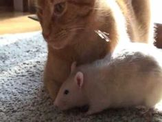 """Rat loves cat... cat tolerates rat. A really cute interspecies relationship :) My rat, Peanut, follows Ranj around everywhere! She gives him kisses and hugs.  THANKS FOR THE FEATURE YOUTUBE EDITORS!!! :)  Music: """"Sock Hop"""" by Kevin MacLeod (incompetech.com)"""