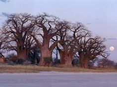 Africa | A full moon rises over a spectacular grove of ancient baobab trees, known as Baines' Baobabs, which perches on the eastern edge of the Kudiakam Pan in the Nxai Pan National Park of Botswana. | © Nigel Pavitt