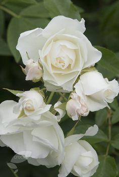 rose Iceberg  (bush floribunda)