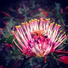 Pecoreando - LA EVOLUCIÓN DE LAS ABEJAS - THE EVOLUTION OF BEES.