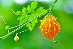 Uma simples fruta encontrada no mato é capaz de matar 98% das células cancerígenas e parar com a diabetes! ~ Sempre…