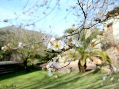 Les flors del pisardi florit al mes de març (2015)