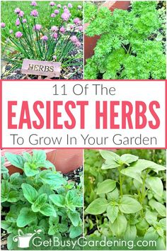 11 Easy Herbs To Grow In Your Garden - Get Busy Gardening - - Looking for the absolute easiest herbs to grow in your garden? Look no further! You're sure to find several options on this list of easy-to-grow herbs. Gardening For Beginners, Gardening Tips, Vegetable Gardening, Container Gardening, Gardening At Home, Texas Gardening, Gardening Zones, Greenhouse Gardening, Organic Gardening