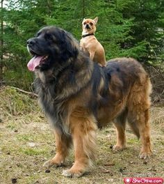 leukste foto ever leonberger met een ratje op zijn rug o wacht dat is een chihauhau hahaa