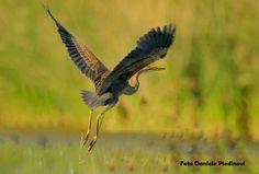 Un airone rosso in volo. #Lomellina #animali #turismo #natura (Pic: Daniele Piedinovi)