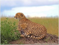 Guardian by AlexGroundwater, via Flickr Cheetah, Free Images, Safari, Parenting, Sleep, Children, Animals, Young Children, Boys
