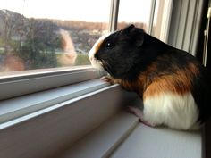 funny thing is that my guinea pig does that same thing.