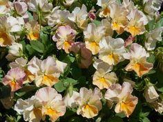 Como plantar amor-perfeito. Amor-perfeito, ou viola tricolor, é uma flor prima da violeta que é conhecida pelas suas flores pequenas e multicoloridas, muito popular pela sua beleza e por ser fácil de cuidar. Por ser uma planta r...