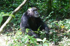 Die Schimpansen im Kibale National Park – Schimpansen? Schimpansen hatte ich bis vor einer Woche überhaupt nicht auf dem Schirm. more pictures here https://www.overlandtour.de/die-schimpansen-im-kibale-national-park/