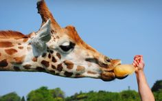 A giraffe enjoys an ice lolly at Port Lympne Wild Animal Park. Keepers at the attraction in Kent kept their animals cool with ice treats and cool water baths as the temperatures soared in the south of England.Picture: www.aspinallfoundation.org