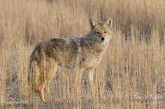 A handsome Coyote keeps watch from a field in Adams County, Colorado. (© Tony's Takes)