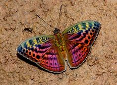 Resplendent Forester Butterfly (Bebearia sp), a new species discovered in the rainforest of southern Ghana