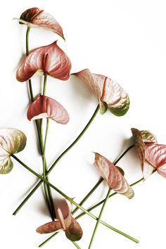 anthurium blossoms   STILL (mary jo hoffman)