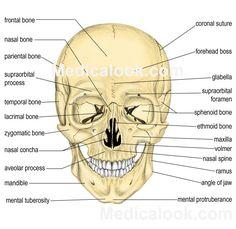Occipital bone: posterior part of the cranial skull | Bones ...