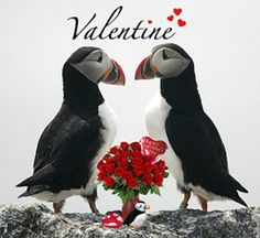Adopt a Puffin for Valentine's Day! Long lasting relationships are not unique to humans. Puffins also often have remarkable faithfulness to their mates and some pairs may nest together for decades!    This year, celebrate someone special for Valentine's Day by adopting a puffin for them.