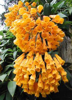 Yellow Bomarea - Bomarea affin. Caldasii