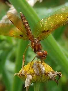 dragonfly.  photo taken 07-11-15 TK