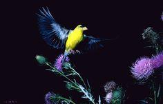 American Goldfinch - photo by R. W. Scott