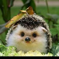 I think this is the hedgehog equivalent of boo. Just sayin...