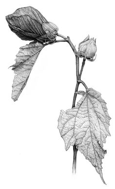 $20 Hibiscus Botanical Illustration. Archival print from original graphite drawing. 8.5 x 11