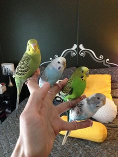 The parrots on the fingers Hosted by imgur.com