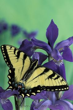 ~~Tiger swallowtail, Pterourus glaucus butterfly on a purple iris flower by Gay Bumgarner~~