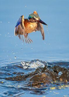Rising Malachite Kingfisher  by Mark Dumbleton Photography http://markdumbleton.com/ http://www.facebook.com/profile.php?id=723245407