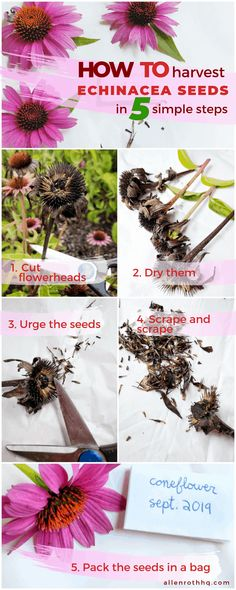How to harvest coneflower (echinacea) seeds in 5 steps infographic Harvest, Flowers Perennials, Echinacea, Seeds, Succulent Gardening, Growing Vegetables, Container Gardening, Annual Flowers, Flower Seeds