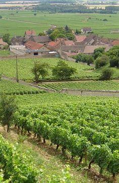 Vineyard in Burgundy region of France