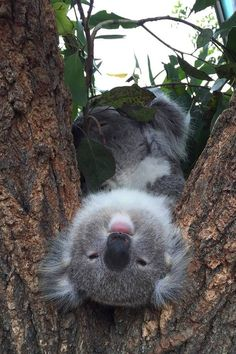 Koala Bears cute as they are can Sleep for 20 hours a day and can sleep in any position. Koala Bear i Salut you =) Cute Funny Animals, Cute Baby Animals, Animals And Pets, Funny Koala, Baby Pandas, Baby Giraffes, Baby Otters, Wild Animals, Especie Animal