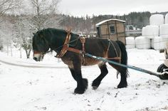 Picture of North Swedish Horse