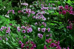 A growing interest in primroses again. These are Japanese primroses--the candelabra type with 4-5 tiers of flowers.  Their height offers interest. They reseed well.
